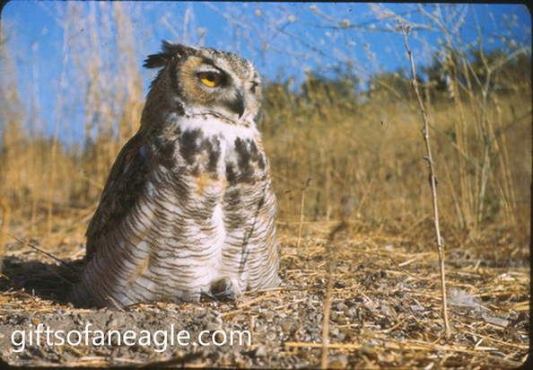 Vintage slide of a Great Horned Owl by Kent Durden