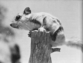 Flying Squirrel from the book A Fine and Peacful Kingdom by Kent Durden