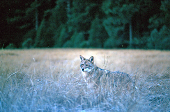 Vintage Slide of a Wolf in the wild - Kent Durden